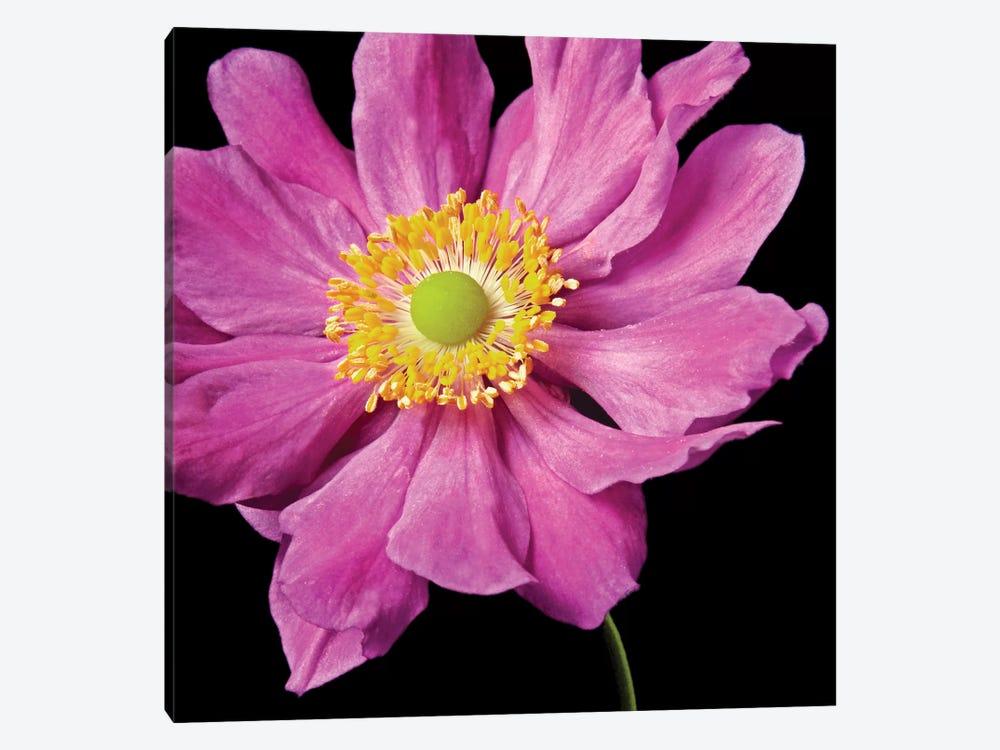 Pink Flower On Black I by Tom Quartermaine 1-piece Canvas Art