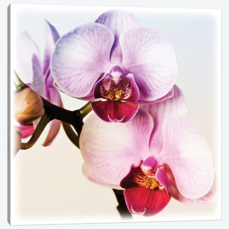 Pink Orchid Close-Up II 3-Piece Canvas #TQU205} by Tom Quartermaine Canvas Artwork