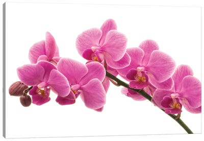 Pink Orchid On White I Canvas Art Print