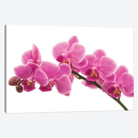 Pink Orchid On White I Canvas Print #TQU206} by Tom Quartermaine Canvas Artwork