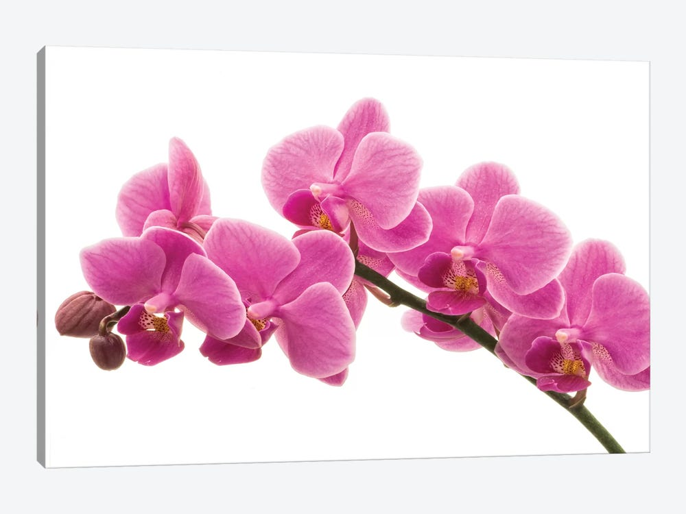 Pink Orchid On White I by Tom Quartermaine 1-piece Canvas Print