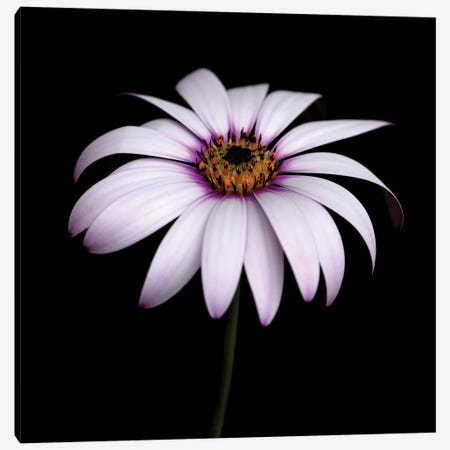 Pink Osteospermum Canvas Print #TQU207} by Tom Quartermaine Canvas Art