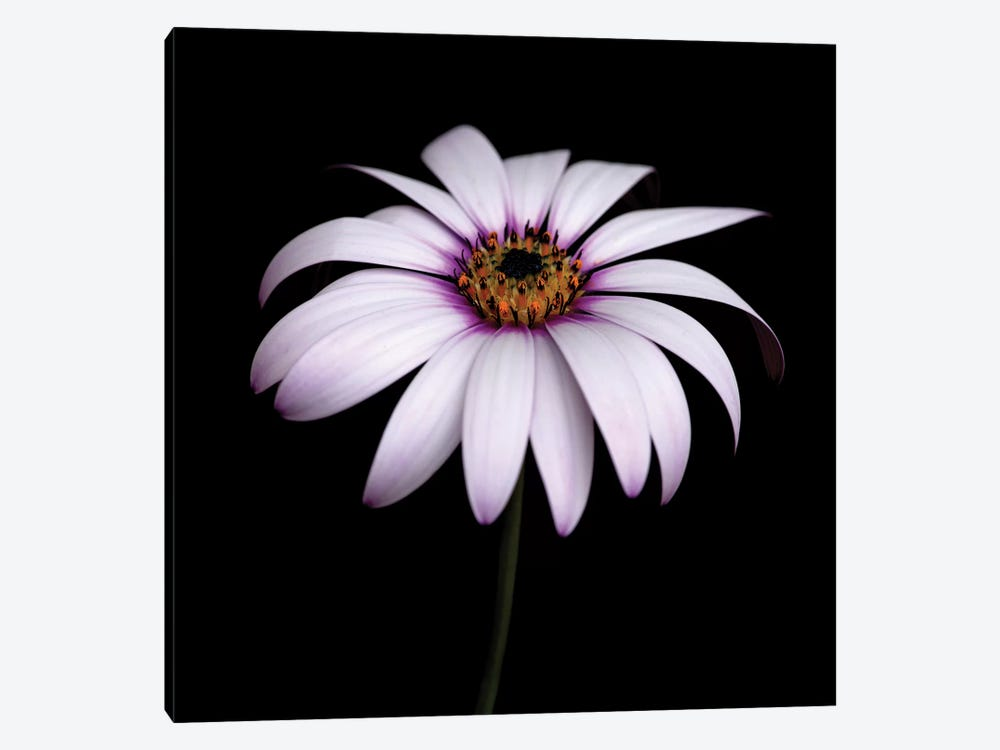 Pink Osteospermum by Tom Quartermaine 1-piece Canvas Artwork