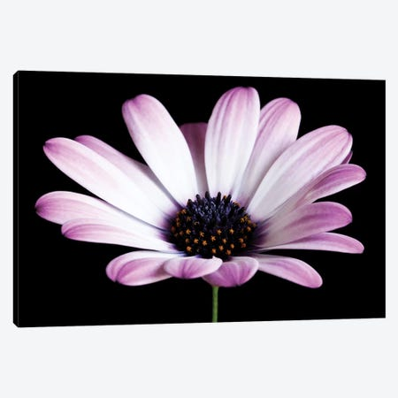 Pink Osteospermum Black IV Canvas Print #TQU208} by Tom Quartermaine Art Print