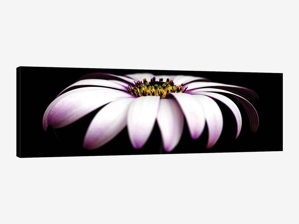 Pink Osteospermum On Black Panoramic 1-piece Canvas Art