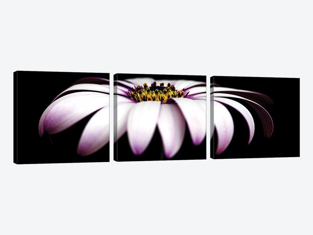 Pink Osteospermum On Black Panoramic by Tom Quartermaine 3-piece Canvas Art