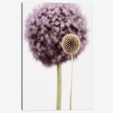 Purple Allium With Dried Flower Canvas Print #TQU217} by Tom Quartermaine Canvas Print
