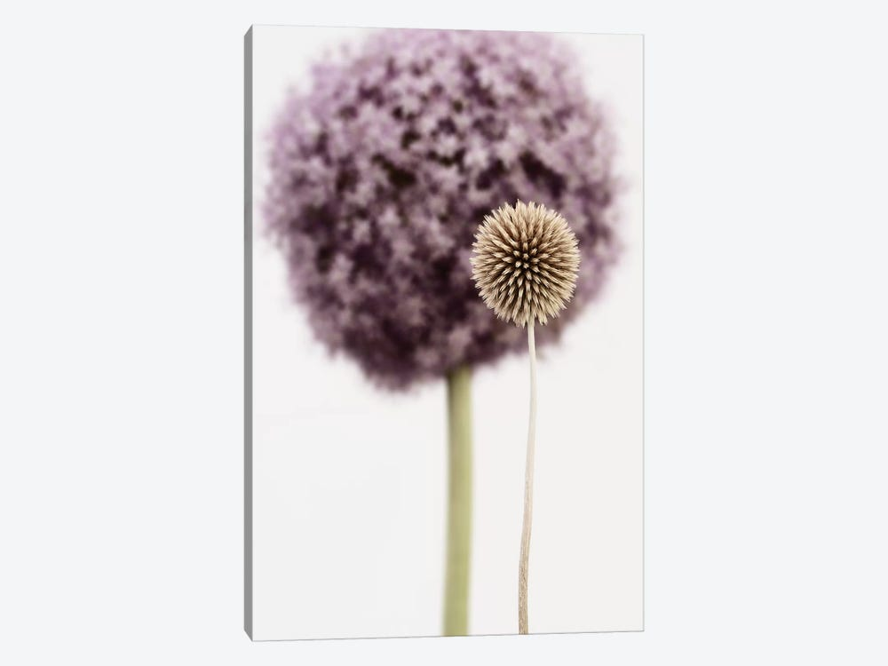 Purple Allium With Dried Flower by Tom Quartermaine 1-piece Canvas Print