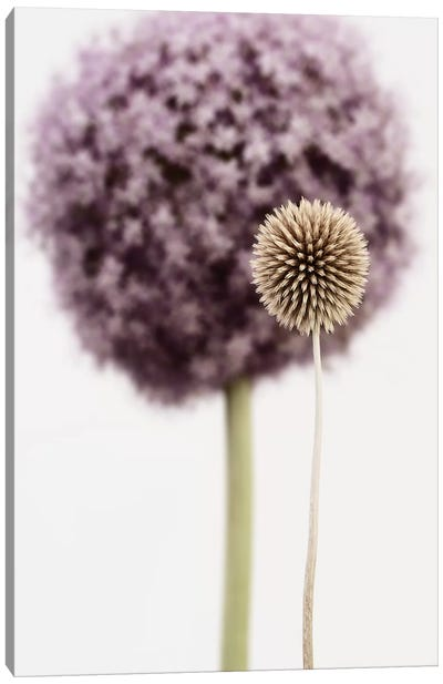 Purple Allium With Dried Flower Canvas Art Print
