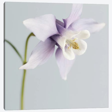 Purple Aquilegia Canvas Print #TQU219} by Tom Quartermaine Canvas Wall Art