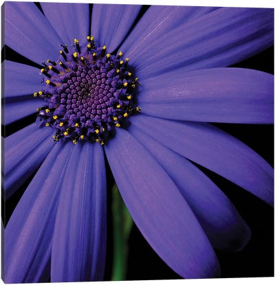Purple Flower On Black II Canvas Art Print