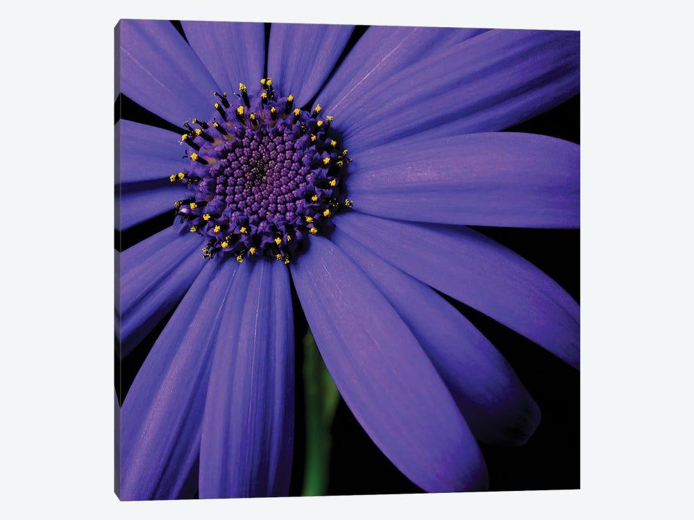 Purple Flower On Black II by Tom Quartermaine 1-piece Canvas Wall Art
