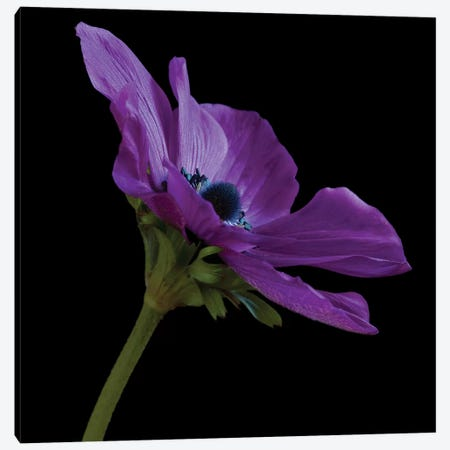 Purple Flower On Black III Canvas Print #TQU222} by Tom Quartermaine Canvas Art Print