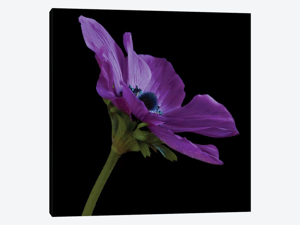 Purple Flower On Black III by Tom Quartermaine 1-piece Art Print