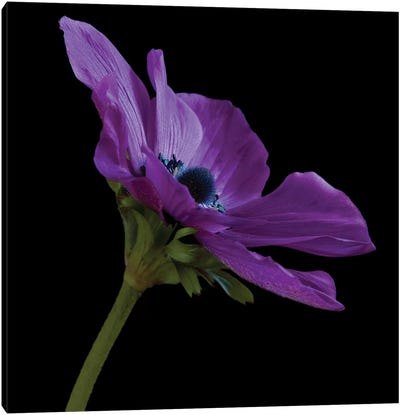 Purple Flower On Black III Canvas Art Print