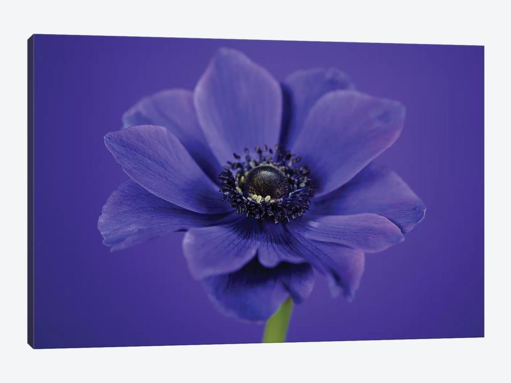Purple Flower On Purple I by Tom Quartermaine 1-piece Canvas Wall Art