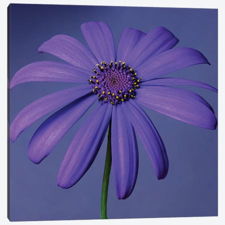 Purple Flower On Purple III Canvas Print #TQU226} by Tom Quartermaine Canvas Artwork