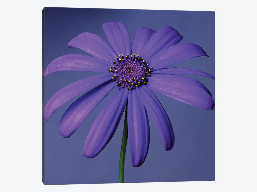 Purple Flower On Purple III by Tom Quartermaine 1-piece Art Print