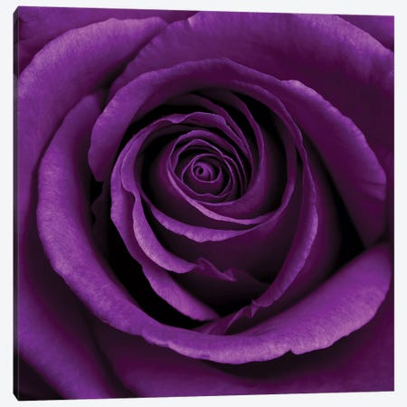 Purple Rose I Canvas Print #TQU227} by Tom Quartermaine Canvas Art