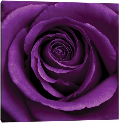 Purple Rose I Canvas Art Print