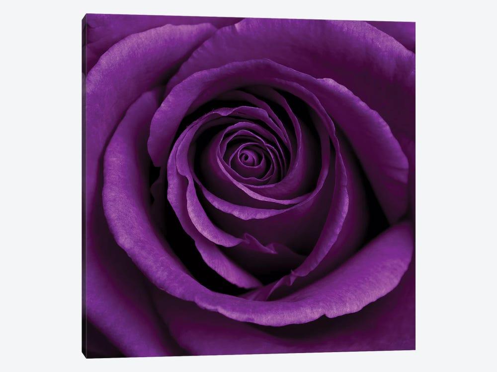 Purple Rose I by Tom Quartermaine 1-piece Canvas Artwork