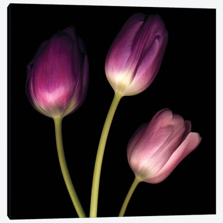 Purple Tulips On Black I 3-Piece Canvas #TQU228} by Tom Quartermaine Canvas Print