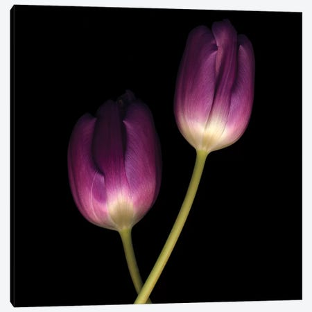 Purple Tulips On Black II Canvas Print #TQU229} by Tom Quartermaine Art Print