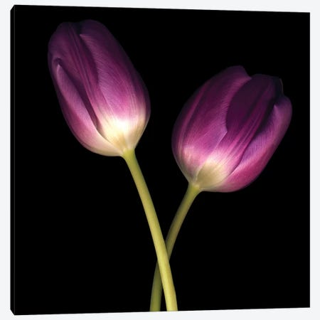 Purple Tulips On Black III 3-Piece Canvas #TQU230} by Tom Quartermaine Canvas Artwork