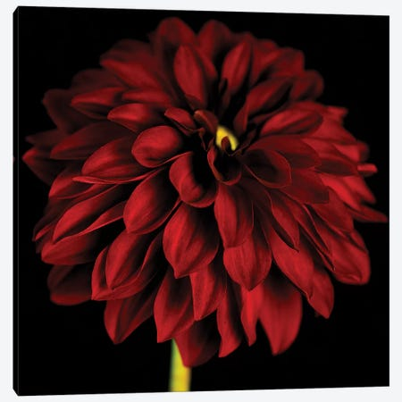 Red Dahlia On Black I Canvas Print #TQU241} by Tom Quartermaine Art Print