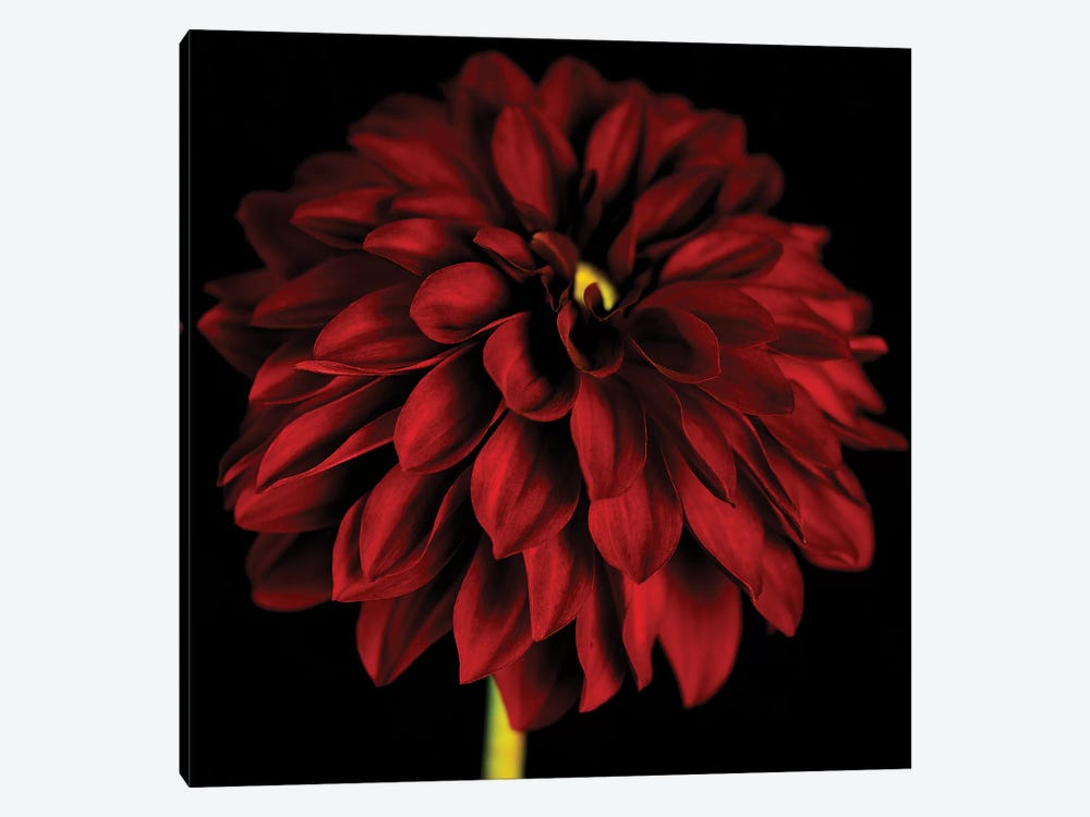 Red Dahlia On Black I 1-piece Canvas Artwork