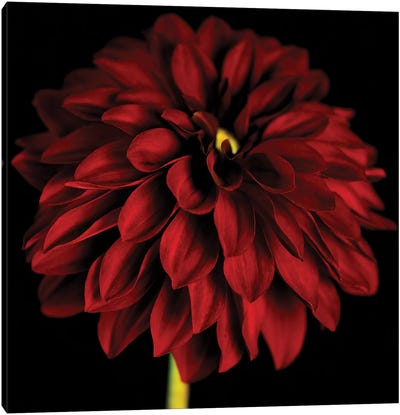 Red Dahlia On Black I Canvas Art Print