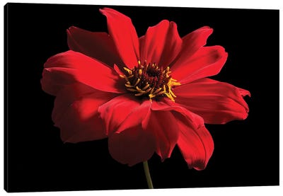 Red Flower On Black I Canvas Art Print