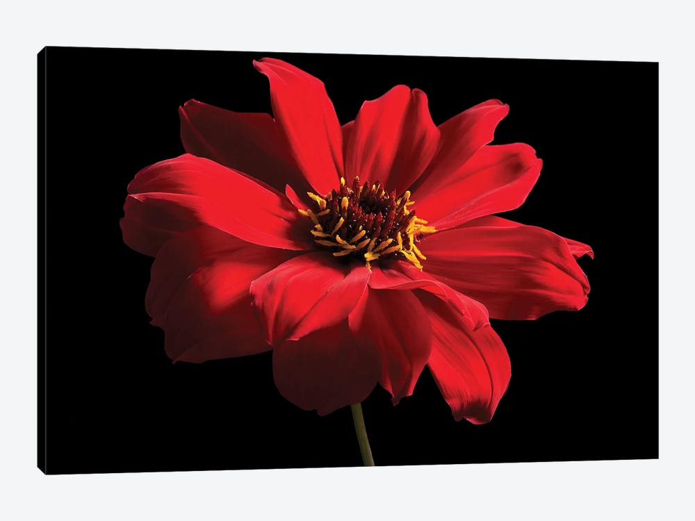 Red Flower On Black I by Tom Quartermaine 1-piece Canvas Wall Art
