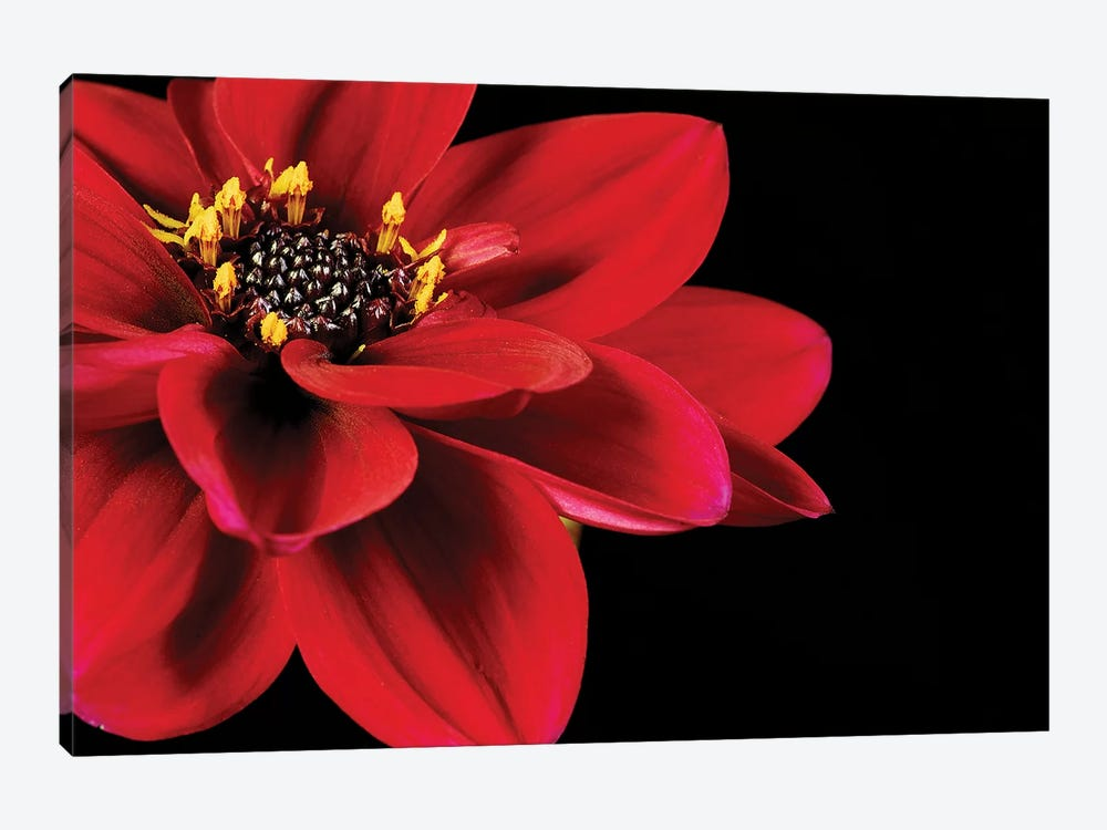 Red Flower On Black II by Tom Quartermaine 1-piece Art Print