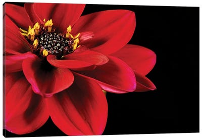 Red Flower On Black II Canvas Art Print