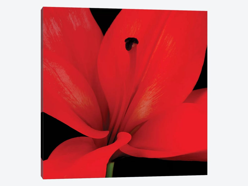 Red Flower On Black III by Tom Quartermaine 1-piece Canvas Art