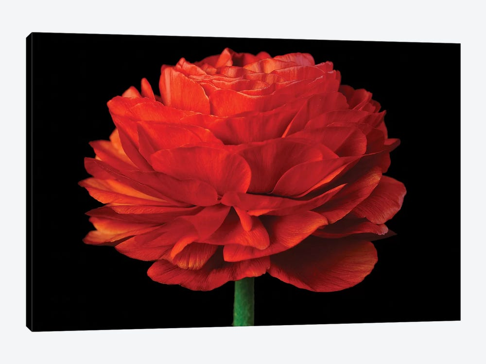 Red Flower On Black IV by Tom Quartermaine 1-piece Canvas Print