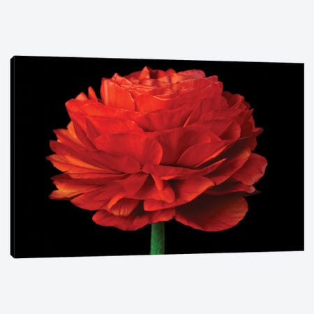 Red Flower On Black IV 3-Piece Canvas #TQU246} by Tom Quartermaine Canvas Artwork