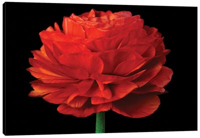 Red Flower On Black IV Canvas Art Print