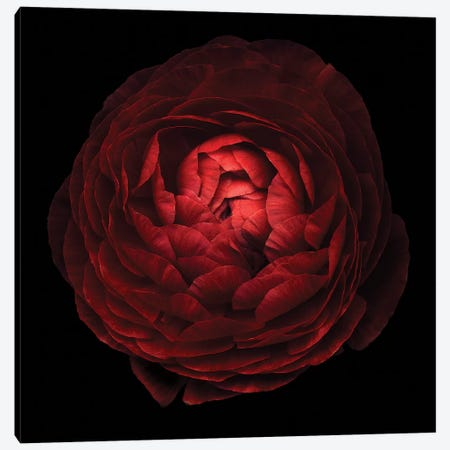 Red Flower On Black V Canvas Print #TQU247} by Tom Quartermaine Canvas Artwork
