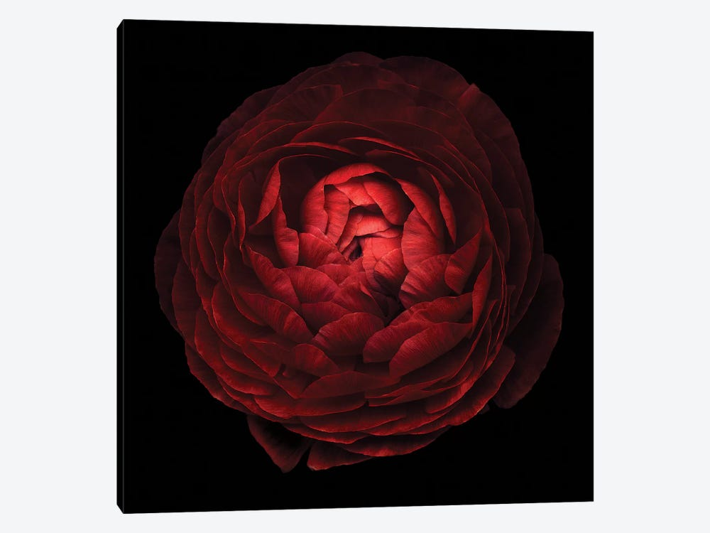 Red Flower On Black V by Tom Quartermaine 1-piece Canvas Wall Art