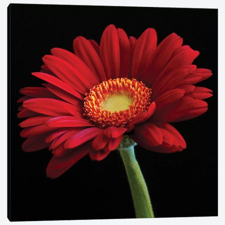 Red Gerbera On Black I Canvas Print #TQU250} by Tom Quartermaine Canvas Wall Art