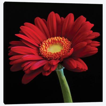 Red Gerbera On Black I Canvas Print #TQU250} by Tom Quartermaine Canvas Wall Art