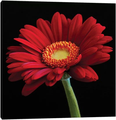 Red Gerbera On Black I Canvas Art Print