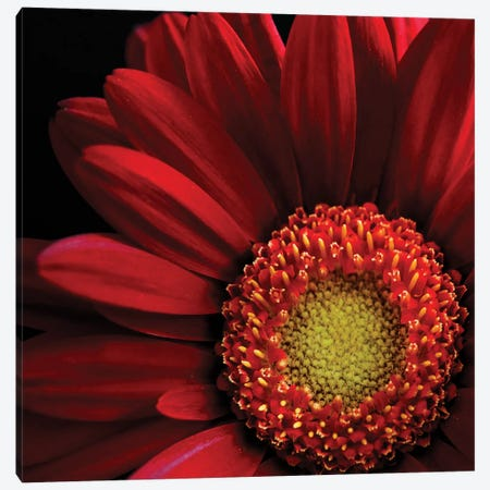 Red Gerbera On Black II Canvas Print #TQU251} by Tom Quartermaine Canvas Art