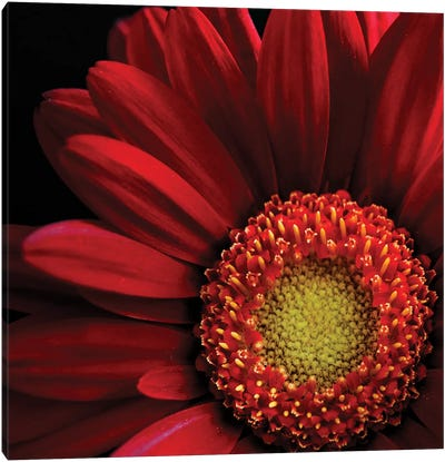 Red Gerbera On Black II Canvas Art Print
