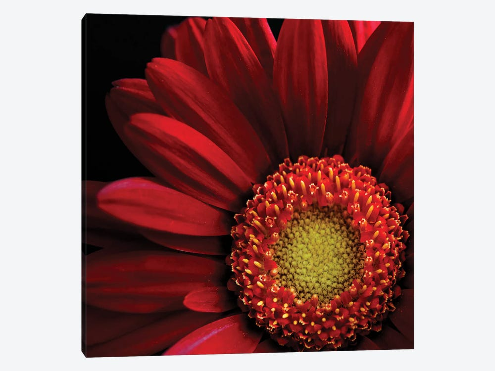 Red Gerbera On Black II by Tom Quartermaine 1-piece Canvas Print