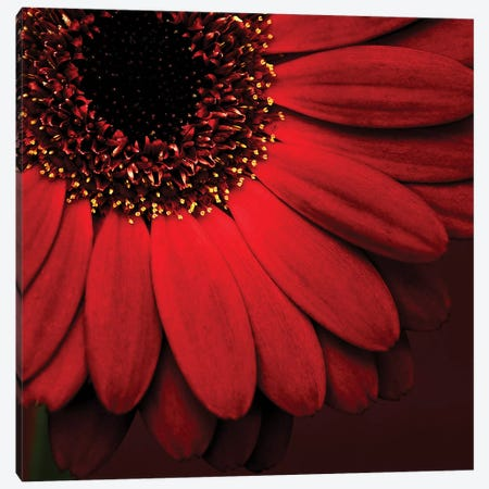 Red Gerbera On Red I Canvas Print #TQU252} by Tom Quartermaine Canvas Artwork