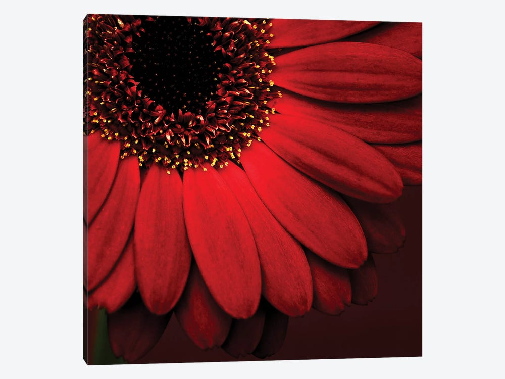 Red Gerbera On Red I by Tom Quartermaine 1-piece Canvas Artwork