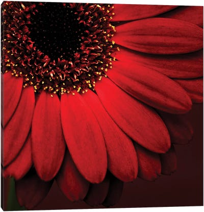 Red Gerbera On Red I Canvas Art Print